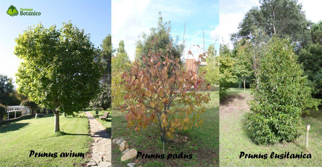 Prunus avium, padus y lusitanica