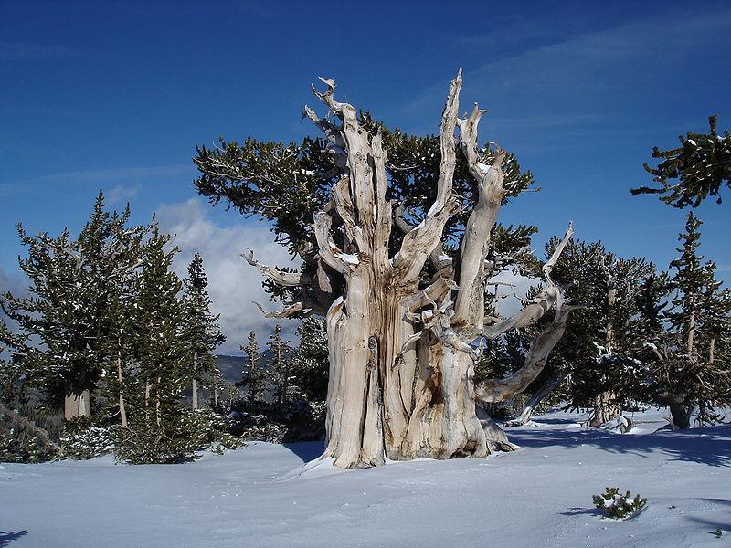 Pino longevo (Pinus longaeva)