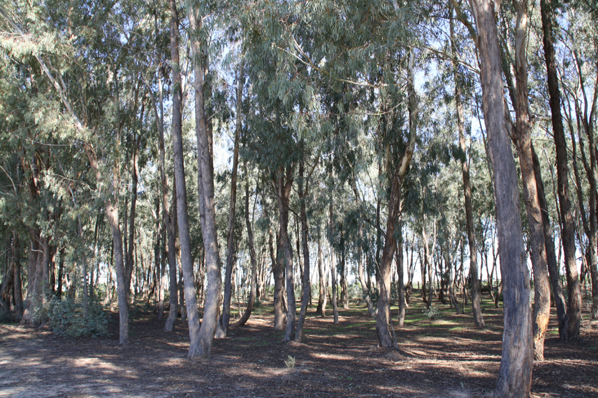 Arboreto del Villar. Lugar dedicado exclusivamente a los eucaliptos. Oro.