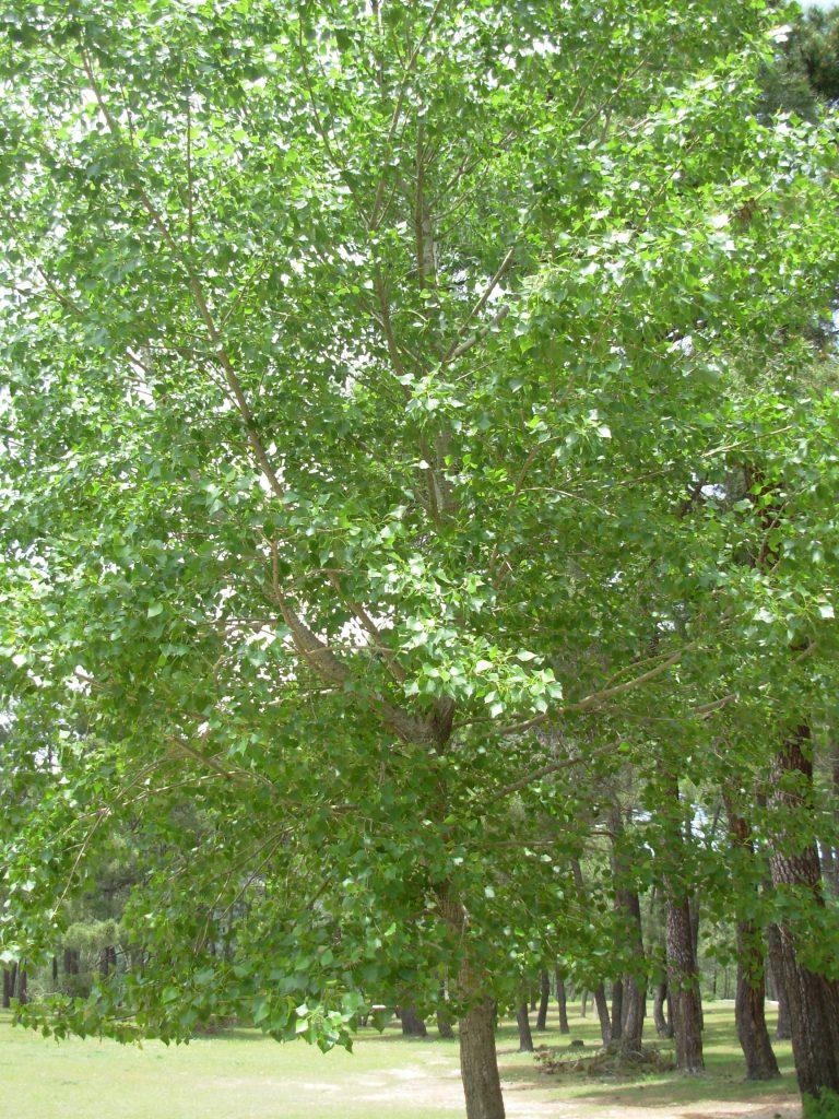 Populus canadiensis. Contaminación genética.