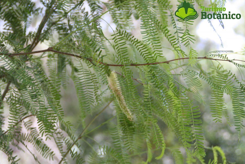 Prosopis flexuosa (Mezquite). Malaria