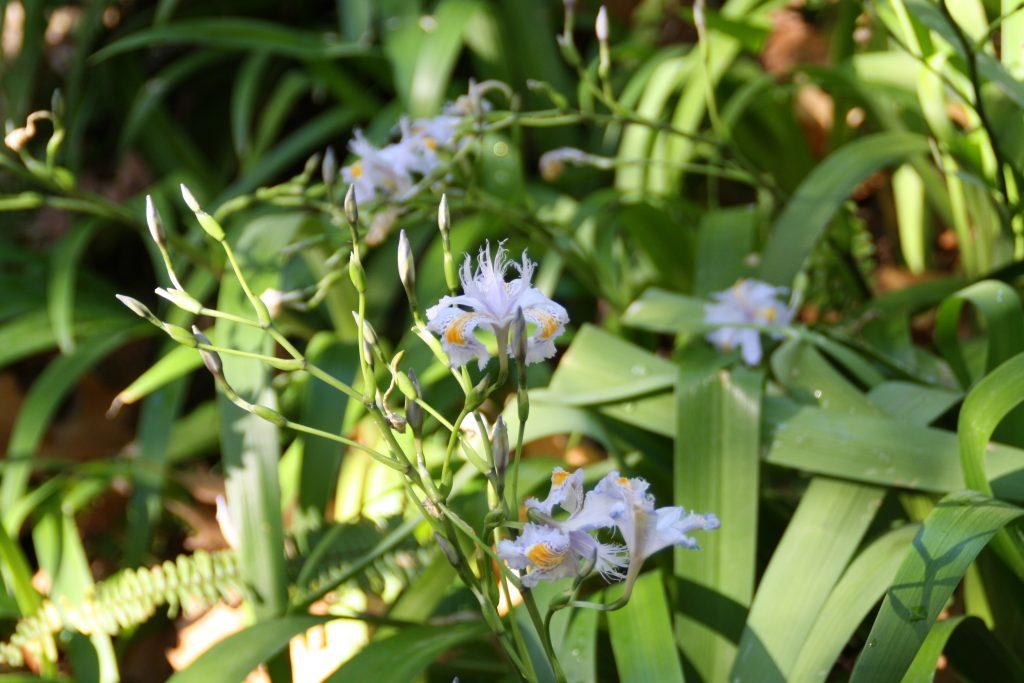 Flor de Lirio Japonés