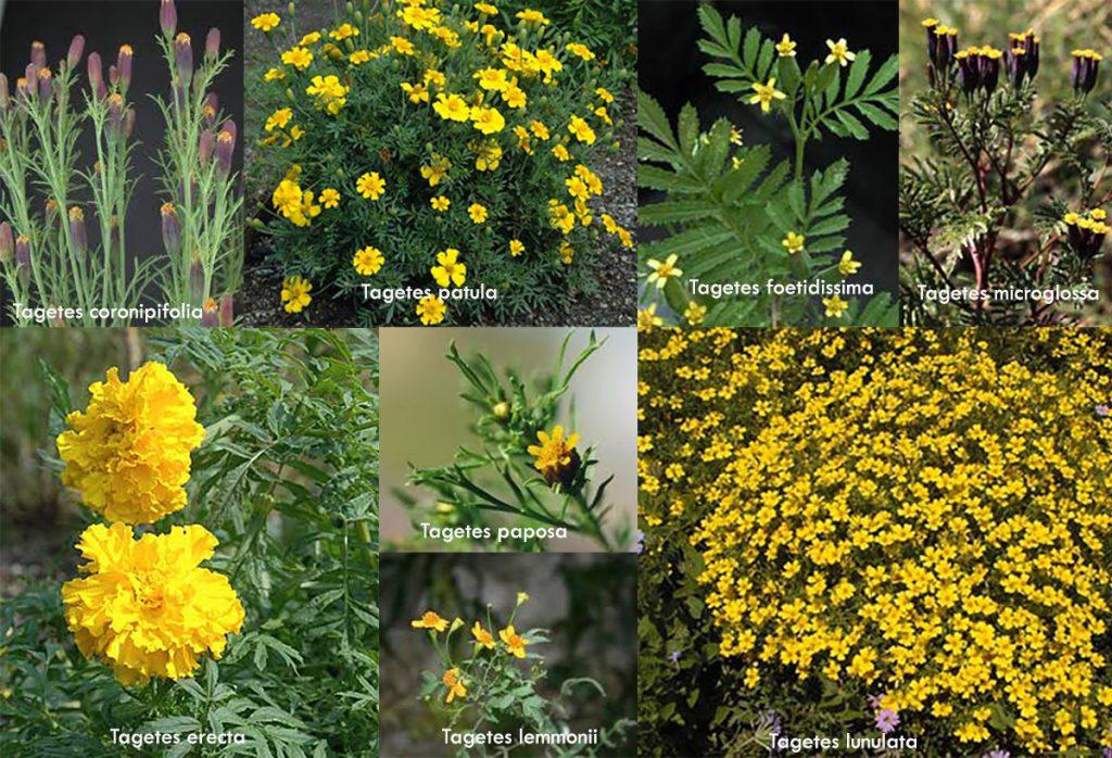 Composición con fotos de diferentes especies de Tagetes.