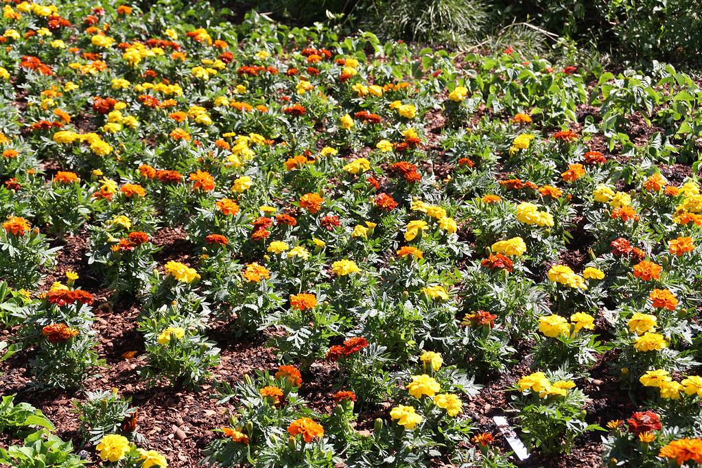 Tagetes en el Arboretum de Dallas.