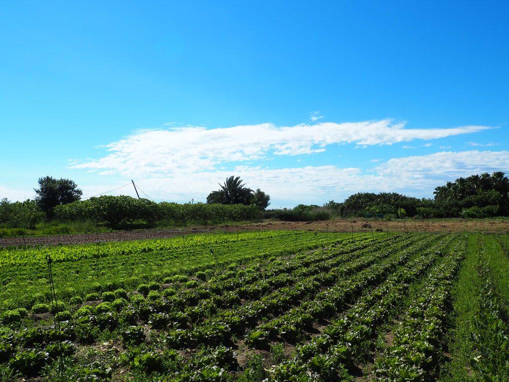 Cultivos dentro del Parc Agrari del Baix Llobregat.