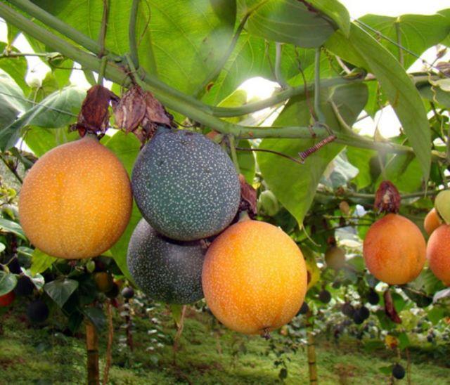 Cultivo de Granadilla (Passiflora ligularis) cerca de la población de La Mensura.