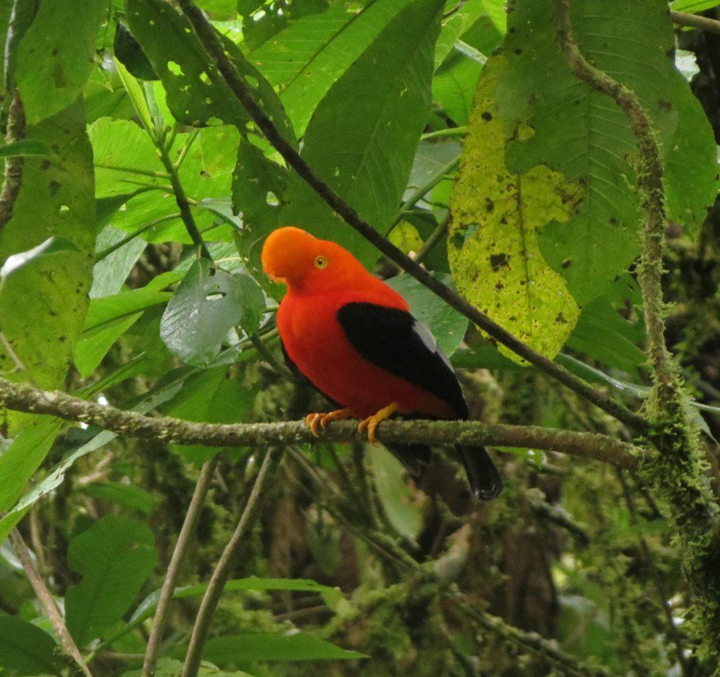 Ejemplar macho de Gallito de Roca (Rupicola peruviana) con sus bella coloración naranja. Foto: Johanna Páez Crespo.
