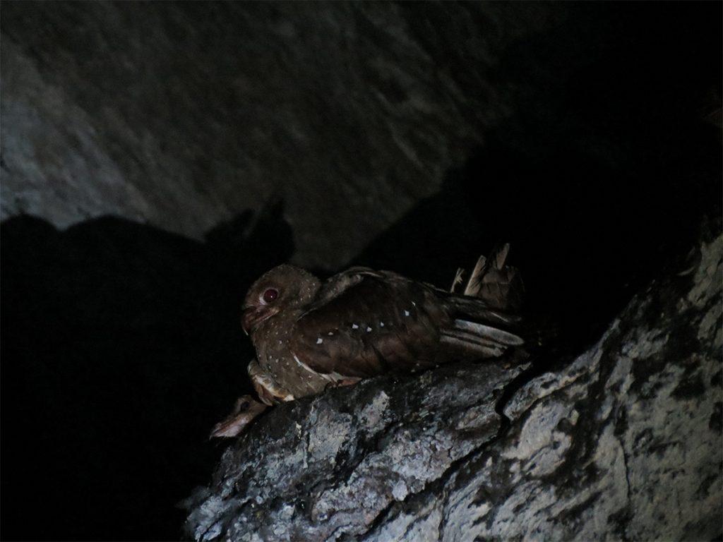 Ejemplar de Guácharo (Steatornis caripensis) dentro de la cueva que da nombre al Parque Nacional. Foto: Johanna Páez Crespo.