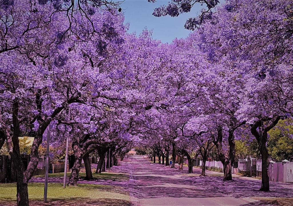 Paseo de Jacarandas en flor.