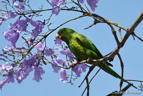 Especie de Periquito Verde (Brotogeris tirica) en una rama de Jacaranda. Foto de Claudia Komesu.