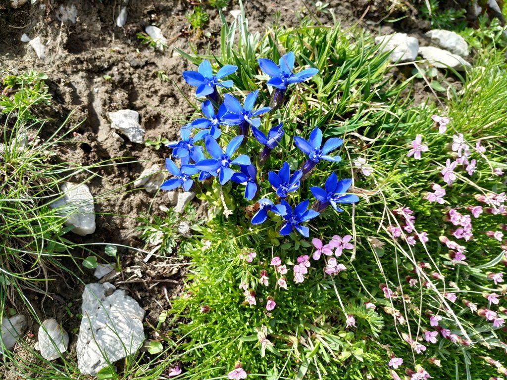 Particularmente, me sorprendió el azul intenso de la flores de Gentiana bavarica.