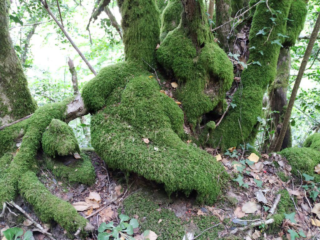 Los musgos cubren los árboles sin importarle que tipo de bosque sea el que predomine.