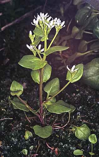 Ejemplar en flor de Cochleara polonica.