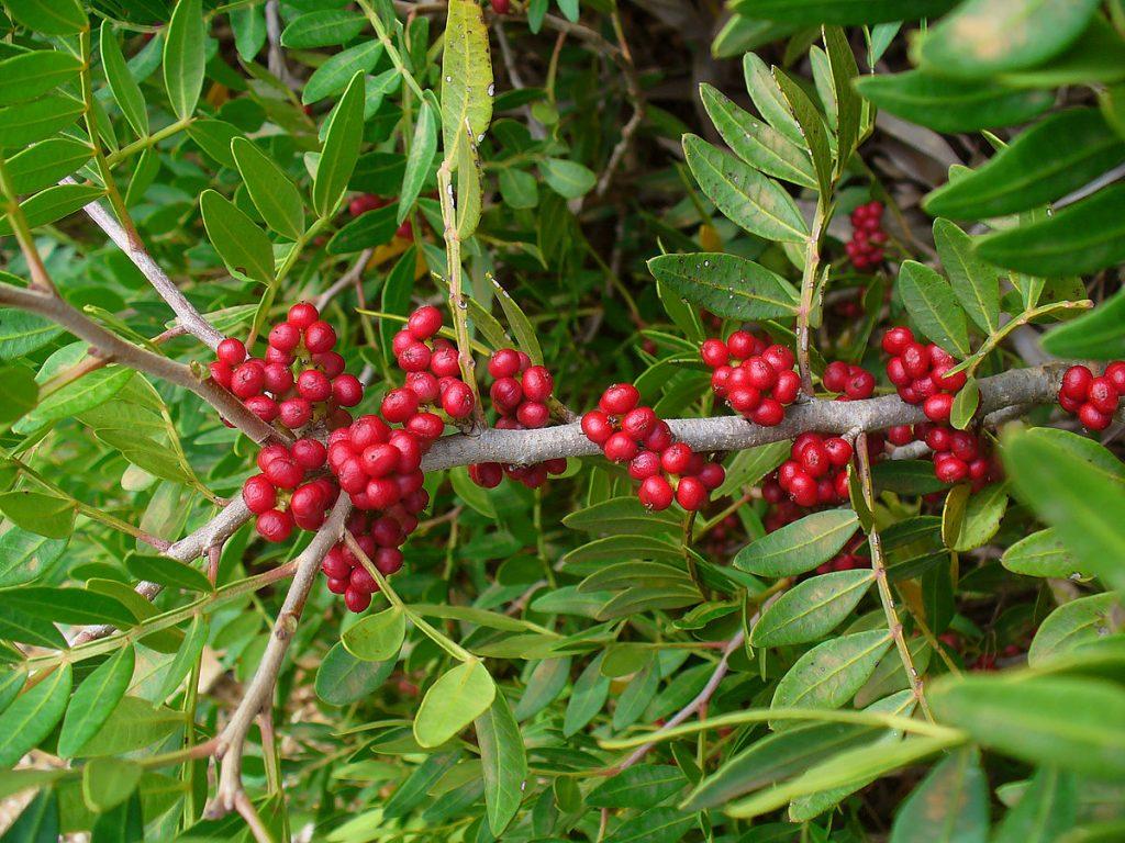 Ejemplar en fruto de lentisco (Pistacia lentiscus).