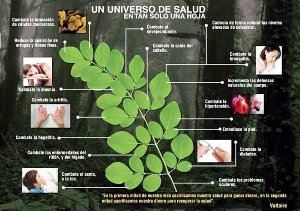La gran cantidad de beneficios que tiene la Moringa. Imagen: www.moringaoleifera.es
