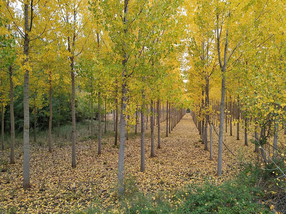 Las hileras de las plantaciones de chopos nos hacían pensar que el otoño iba a ser más que bonito.