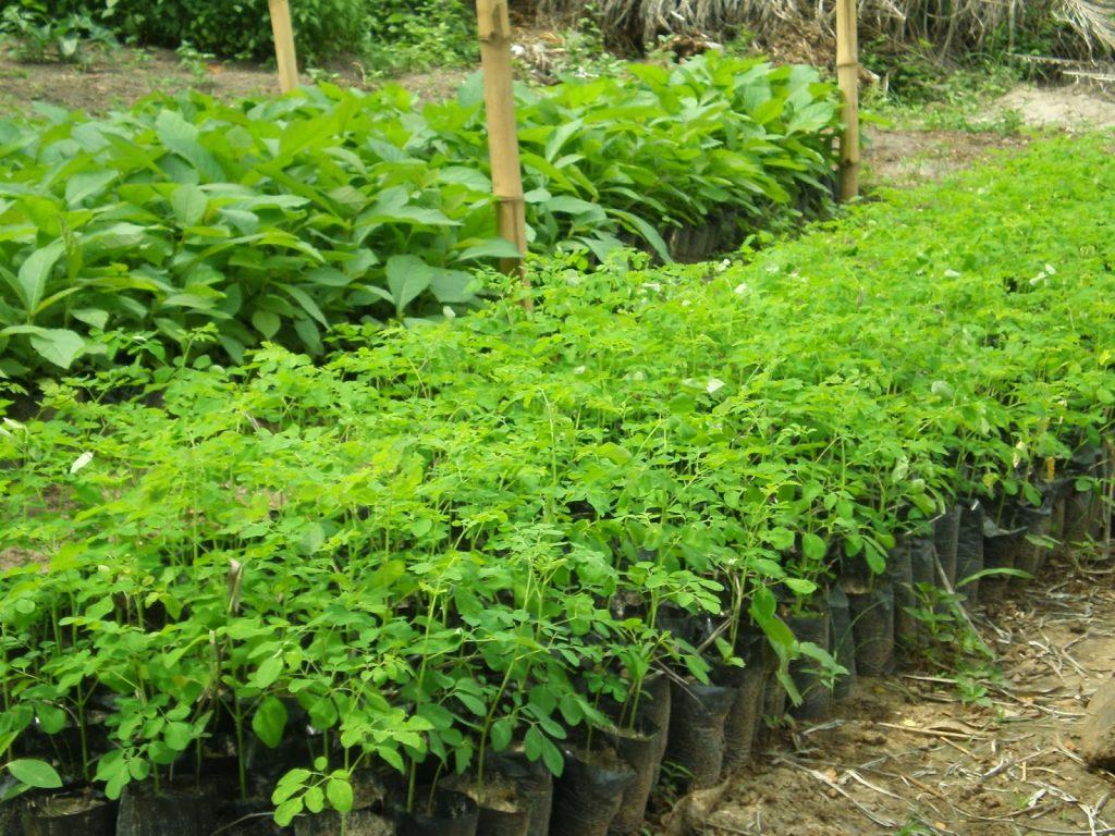 Plantones de Moringa dispuestos para ser plantados en tierra. Foto: http://gsamuel4u.blogspot.com