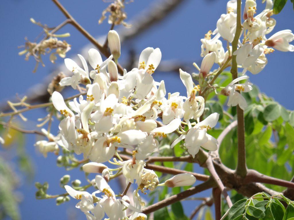 Flor de Moringa oleifera.