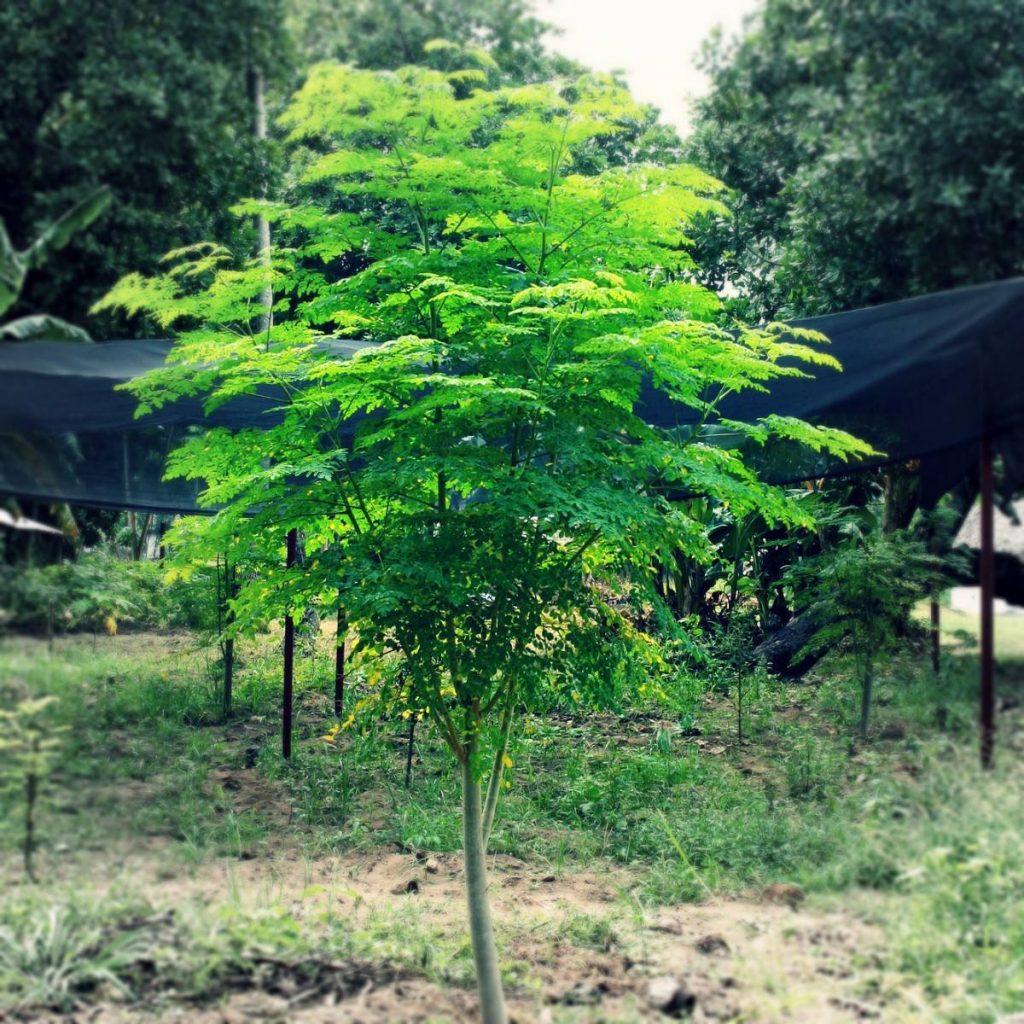 Árbol de Moringa (Moringa oleifera). Foto: produto.mercadolivre.com.br
