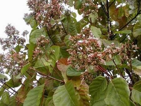 Flores de la Cinchona officinales o Quina.