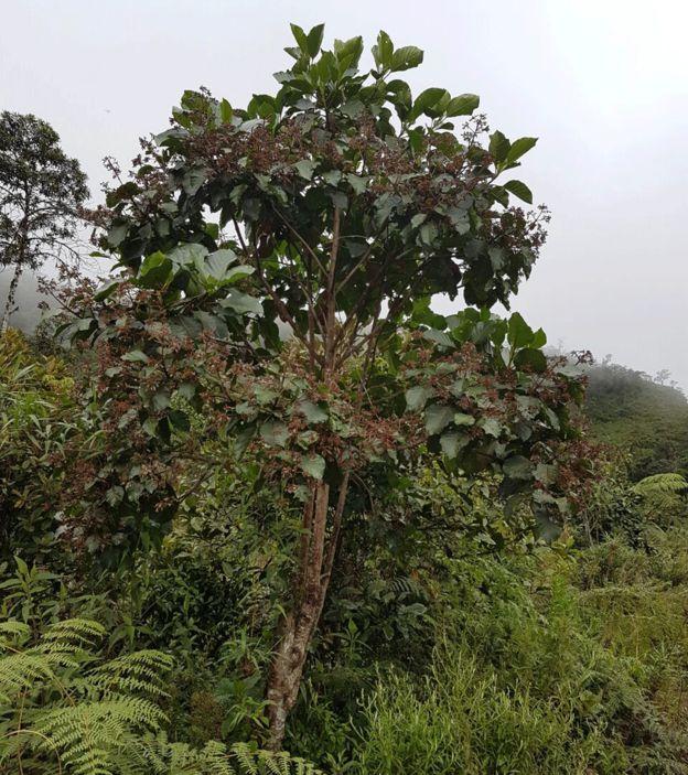 Árbol de la Cinchona en los bosques húmedos de Ecuador.