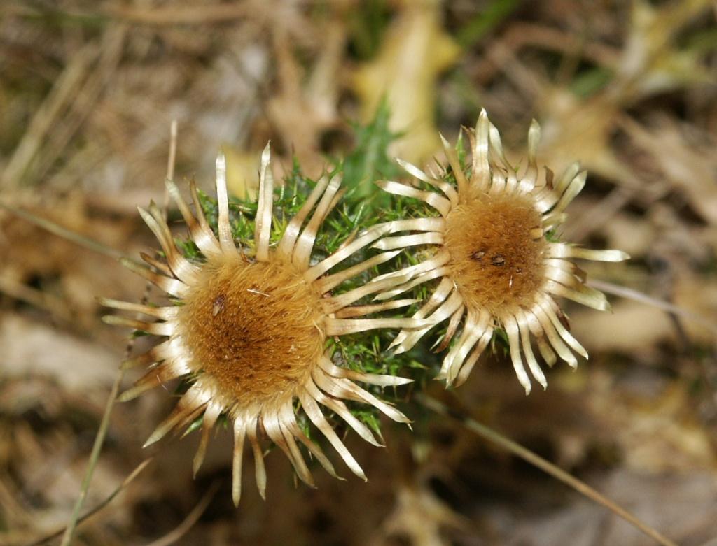Las flores (o conjunto de flores) de Carlina vulgaris.